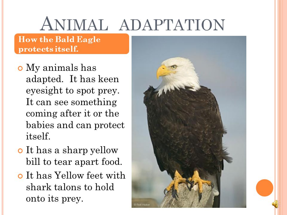 Animal adaptation How the Bald Eagle protects itself.