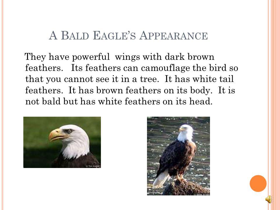 A Bald Eagle's Appearance