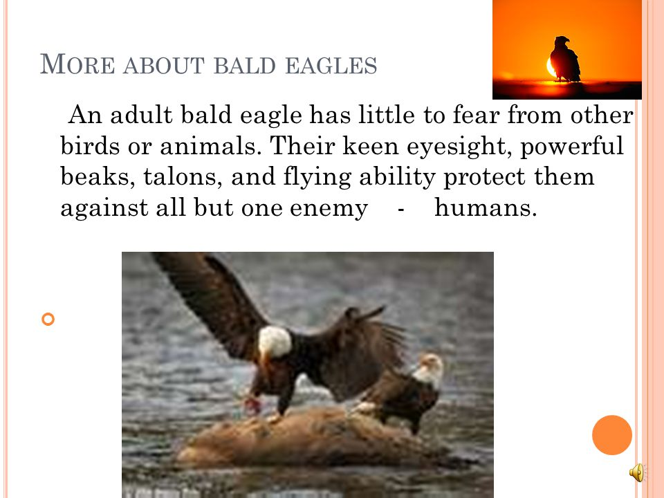 More about bald eagles