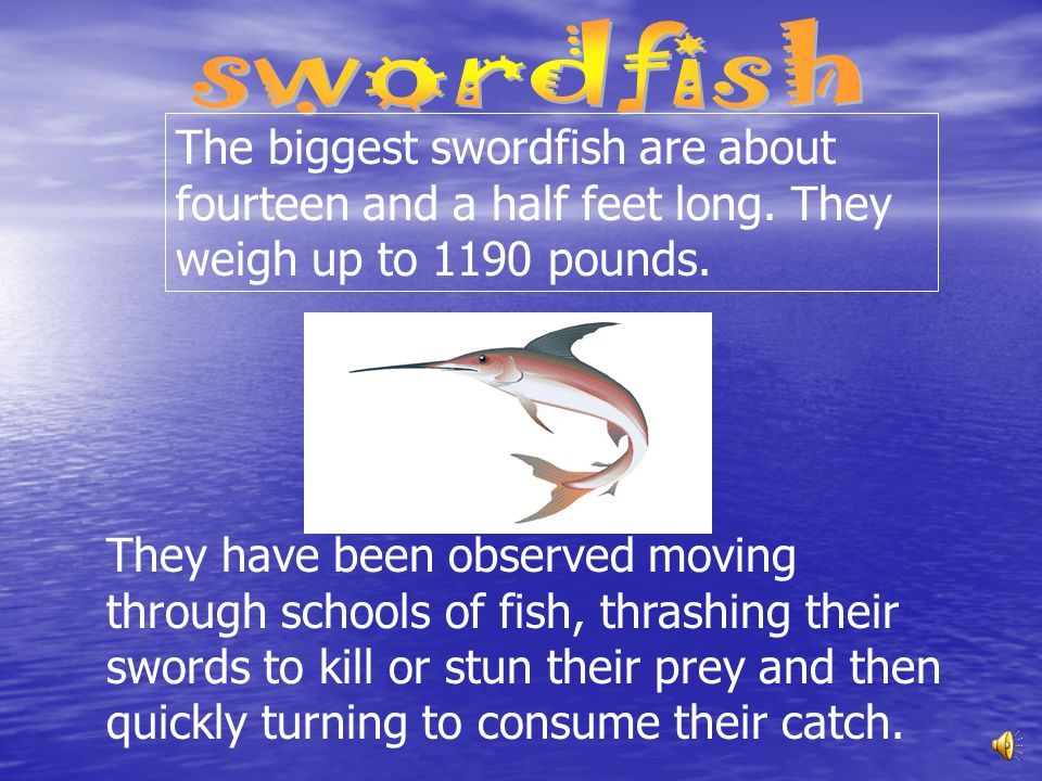 swordfish The biggest swordfish are about fourteen and a half feet long. They weigh up to 1190 pounds.