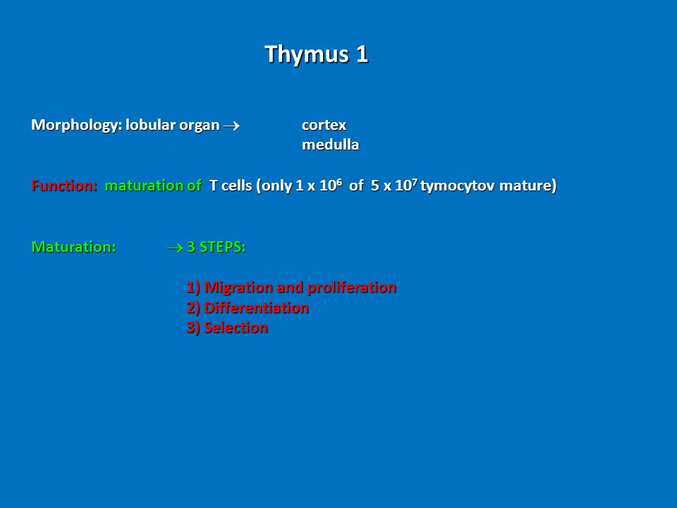 Thymus 1 Morphology: lobular organ  cortex medulla