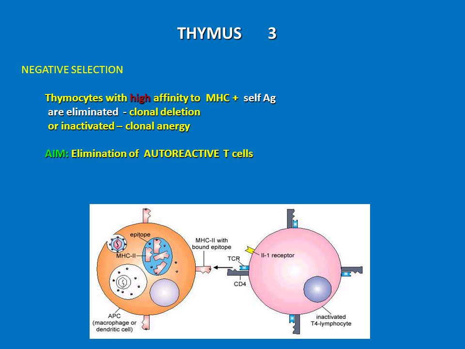 THYMUS 3 NEGATIVE SELECTION