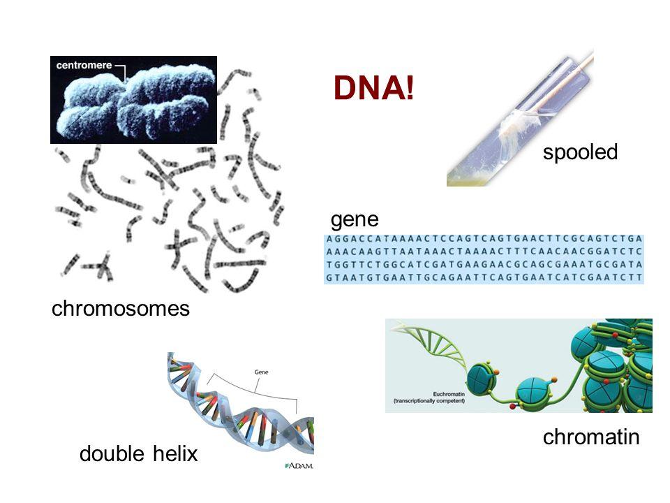 DNA! spooled gene chromosomes chromatin double helix