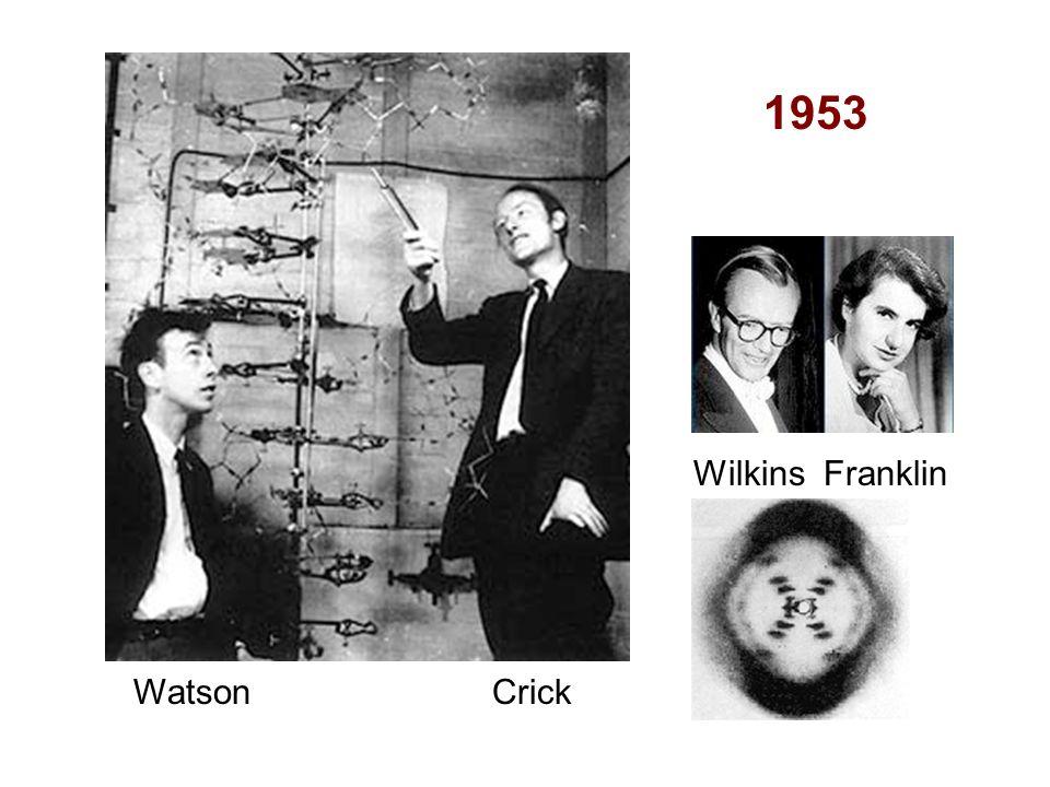 1953 Wilkins Franklin Watson Crick