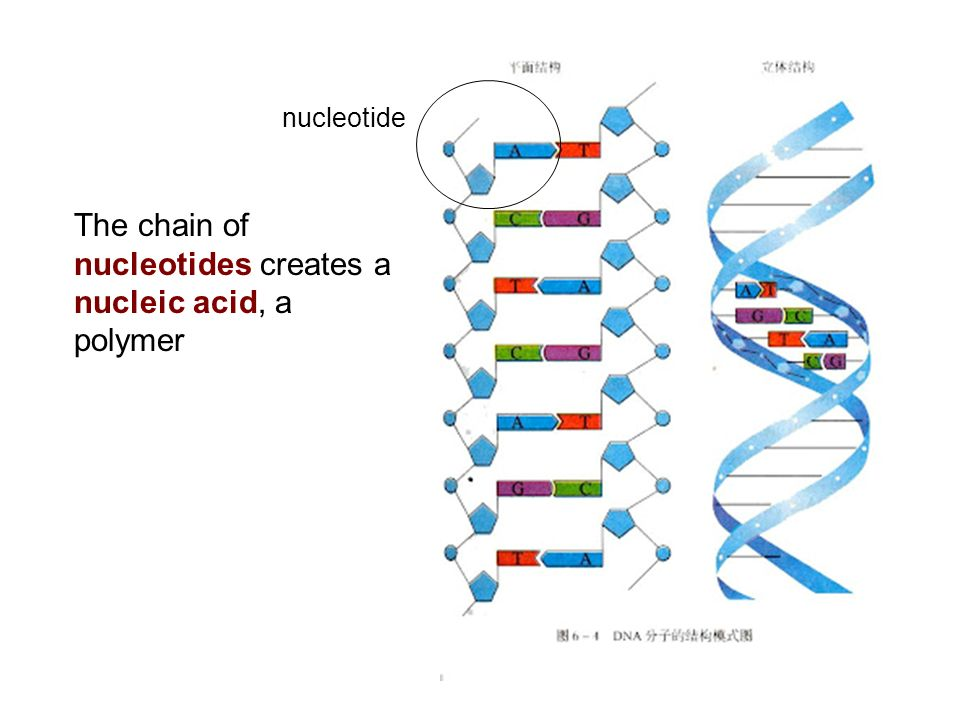 nucleotides creates a nucleic acid, a polymer