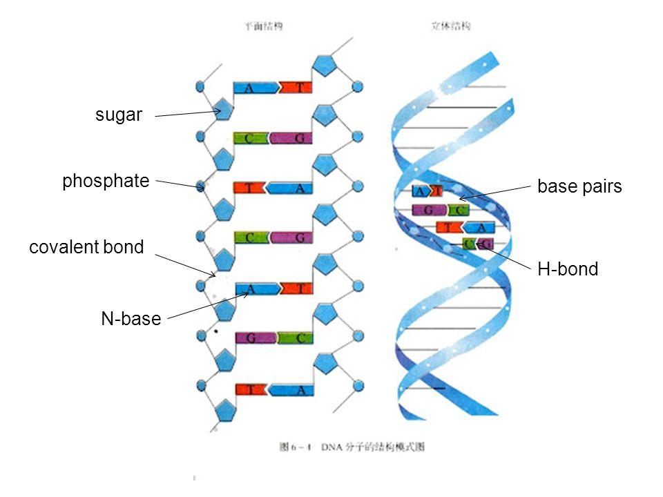 sugar phosphate base pairs covalent bond H-bond N-base