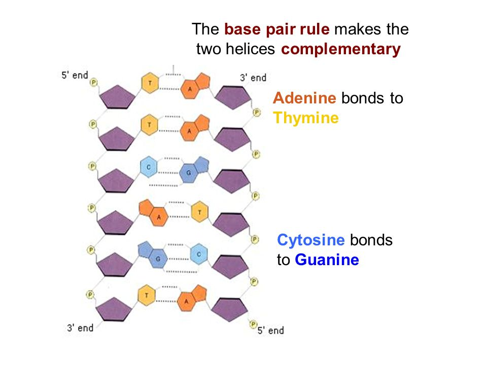 The base pair rule makes the