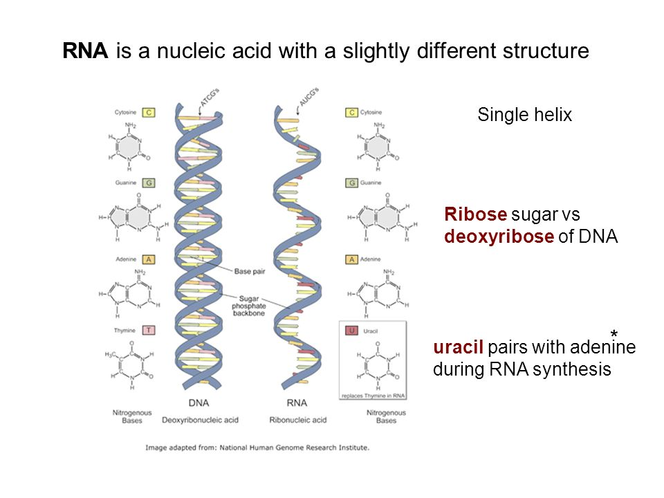 RNA is a nucleic acid with a slightly different structure