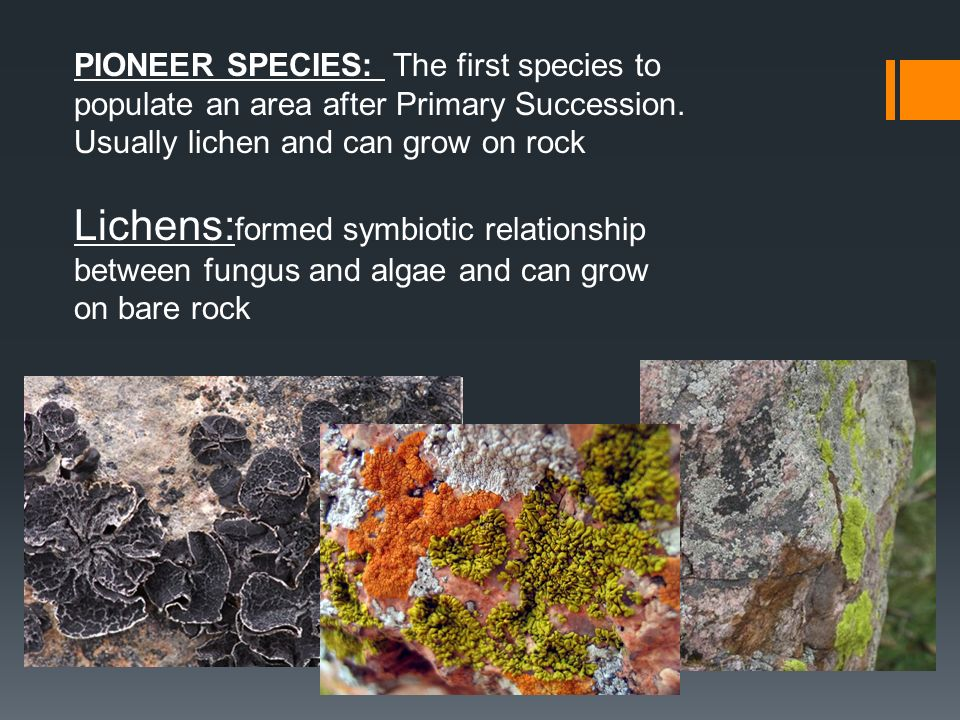 PIONEER SPECIES: The first species to populate an area after Primary Succession. Usually lichen and can grow on rock