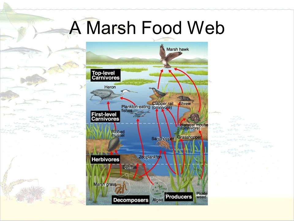 A Marsh Food Web