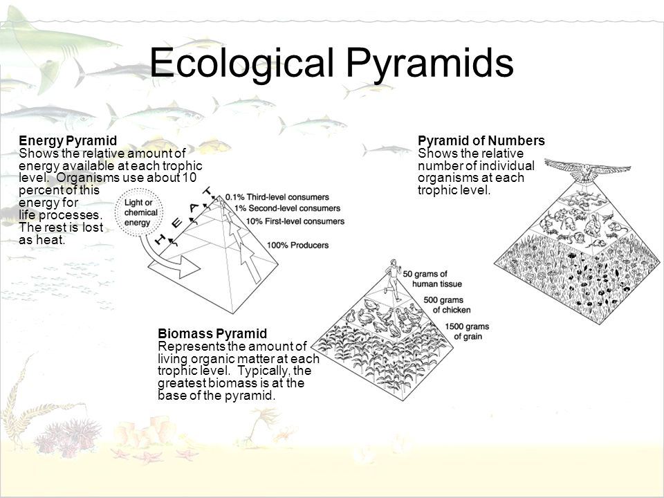 Ecological Pyramids Energy Pyramid Shows the relative amount of