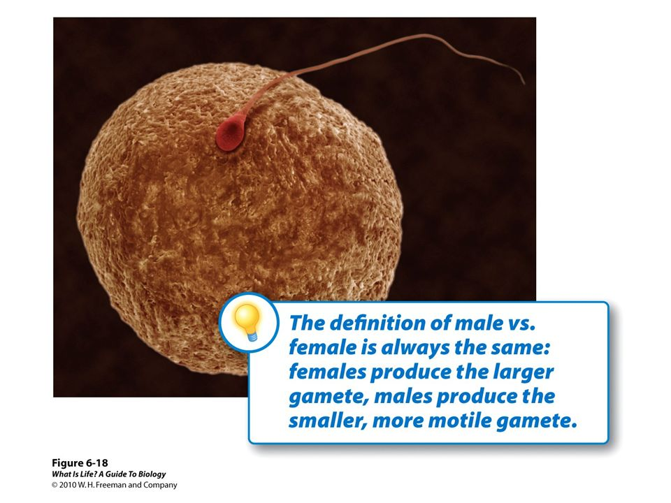 The size difference between the male gamete and the female gamete (i.e., the sperm and eggs in animals) all comes down to the fact that sperm cells have very little cytoplasm, while eggs have a huge amount. During the production of sperm, the two divisions occur just as described in section 6.11, resulting in four evenly-sized cells that become sperm. During the production of eggs, things are a bit different.