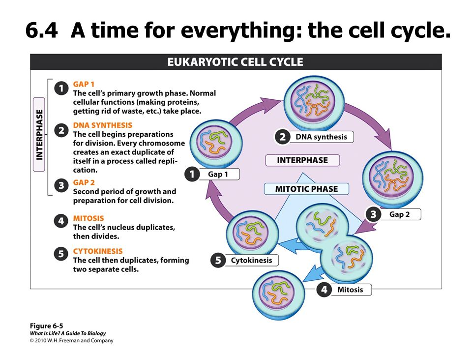 6.4 A time for everything: the cell cycle.
