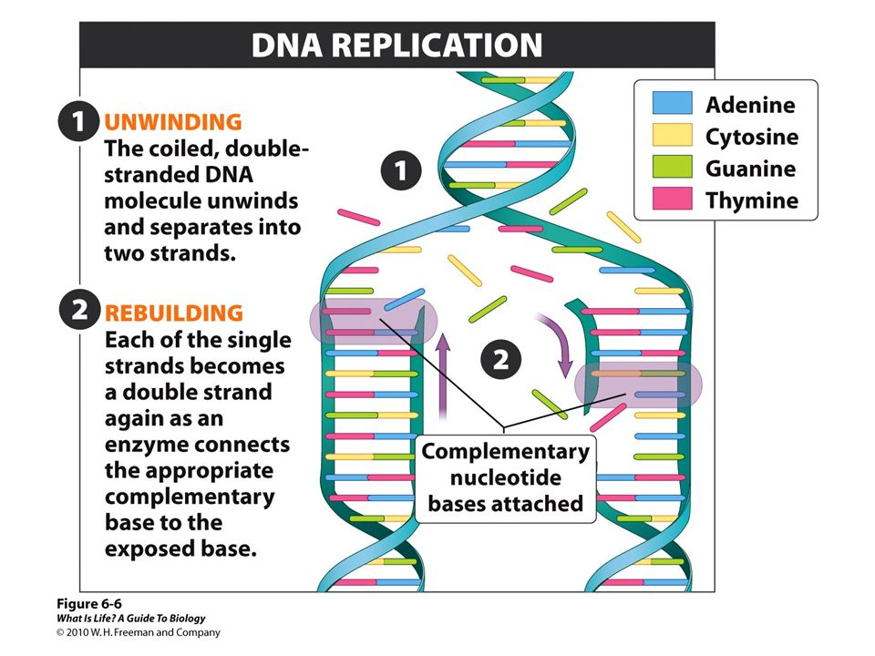 The process of DNA replication occurs in two steps: unwinding and rebuilding.