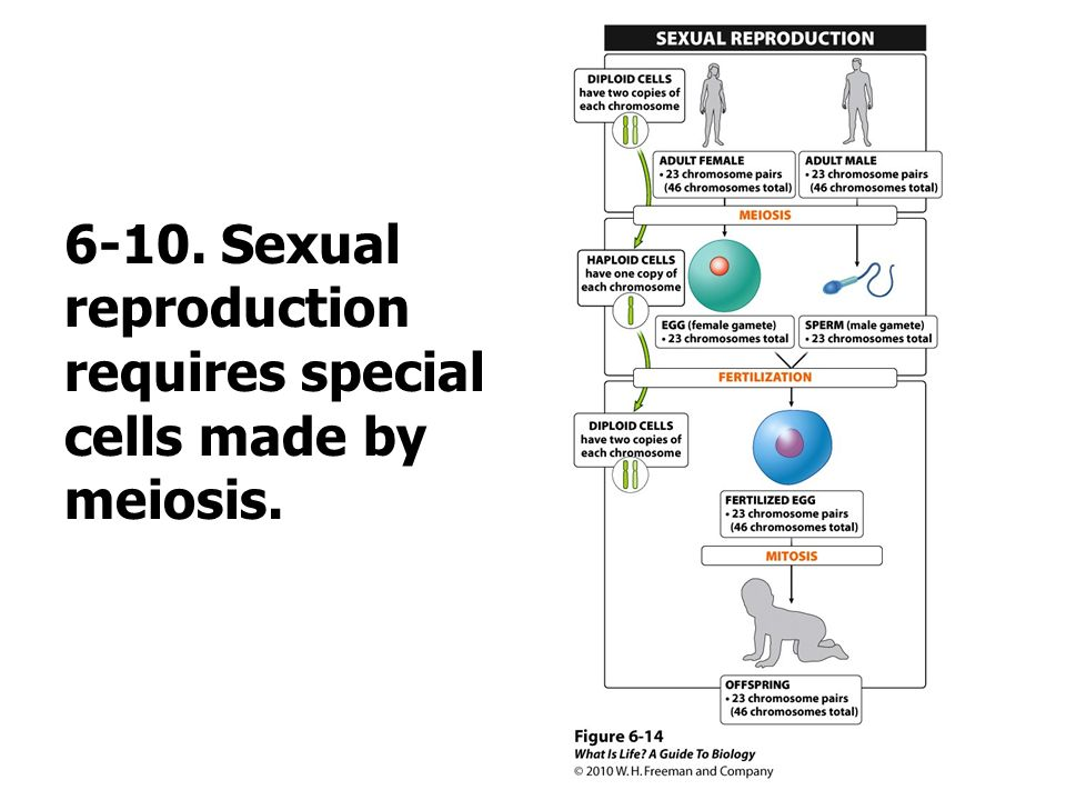 6-10. Sexual reproduction requires special cells made by meiosis.