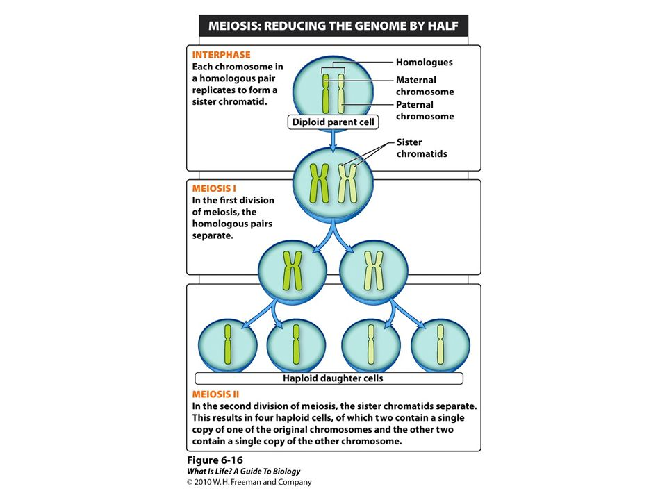 Figure 6-16 Meiosis reduces the genome by half in anticipation of combining it with another genome.