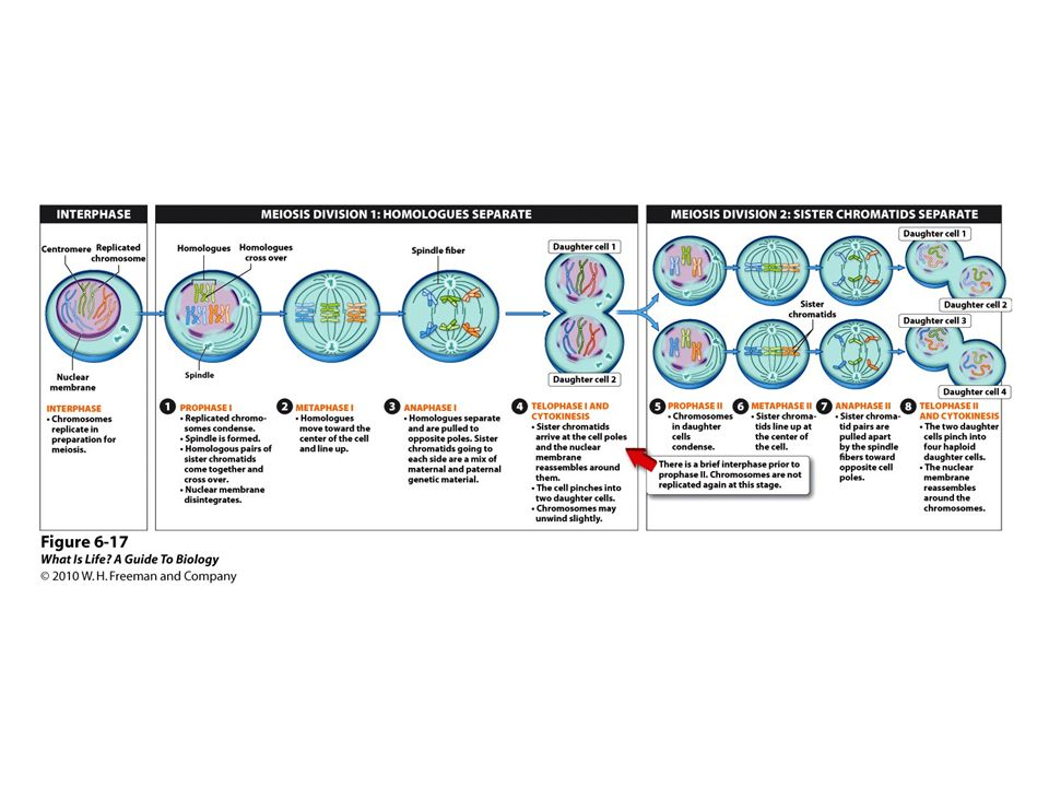 FIGURE 6-17 Meiosis: generating reproductive cells, step by step.