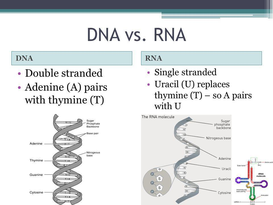 DNA vs. RNA Double stranded Adenine (A) pairs with thymine (T)