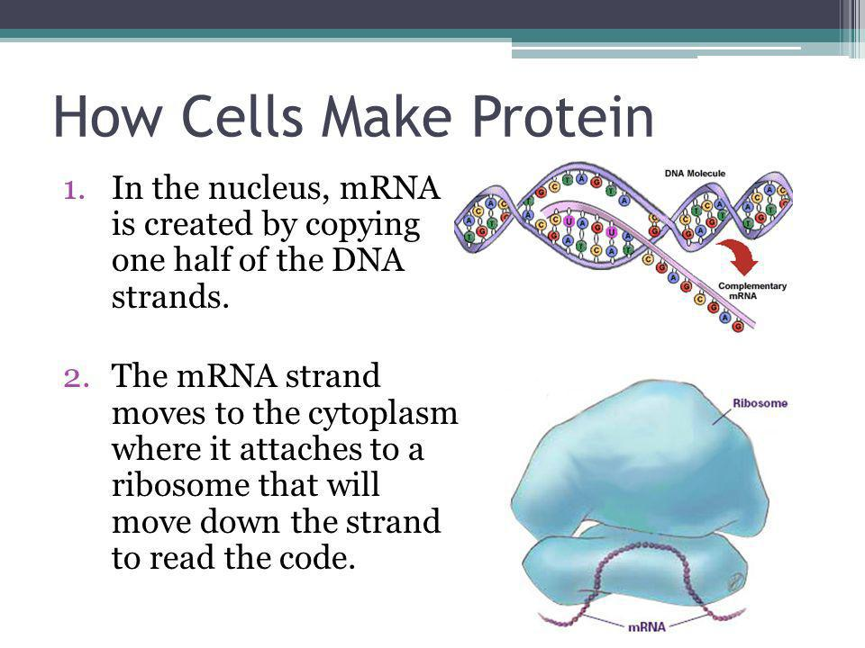 How Cells Make Protein In the nucleus, mRNA is created by copying one half of the DNA strands.