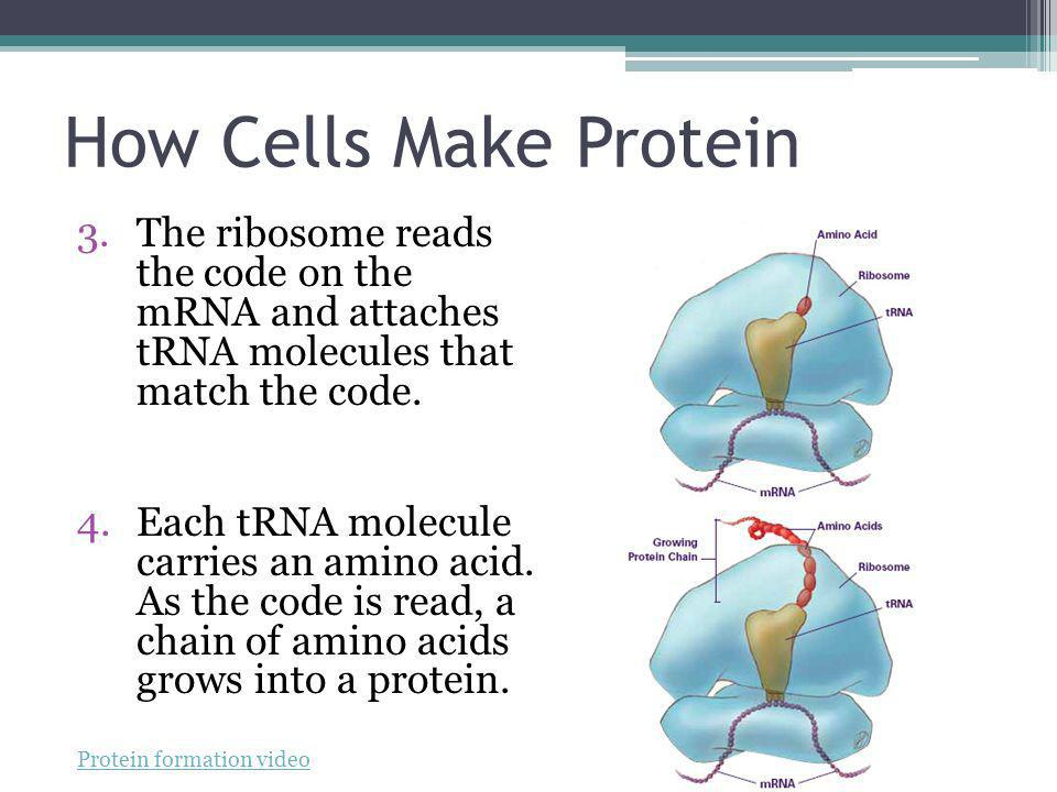 How Cells Make Protein The ribosome reads the code on the mRNA and attaches tRNA molecules that match the code.