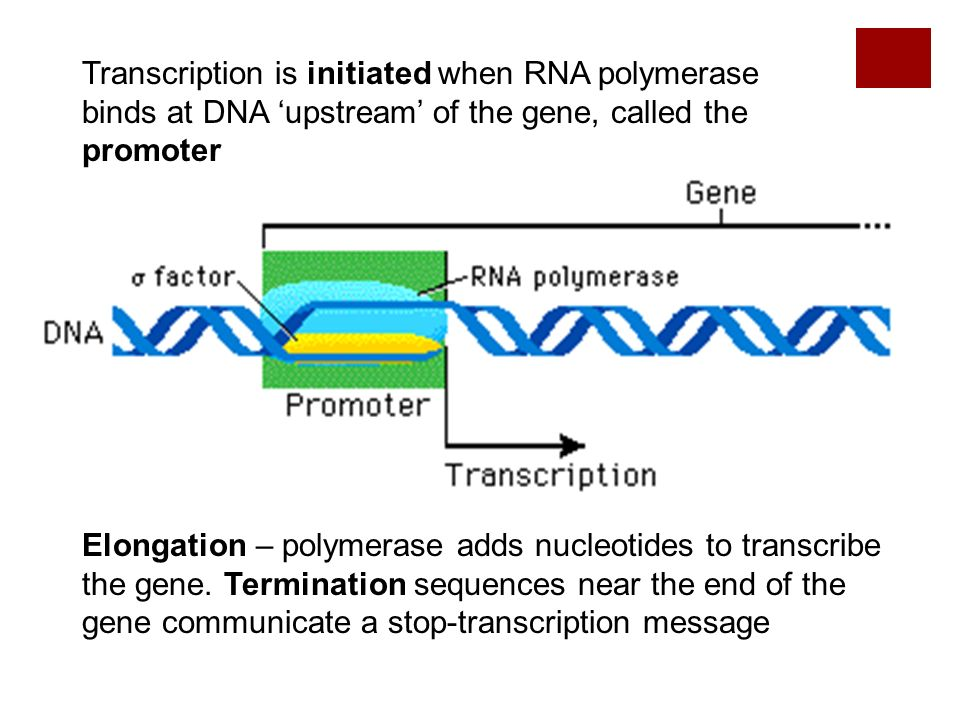 Transcription is initiated when RNA polymerase binds at DNA 'upstream' of the gene, called the promoter