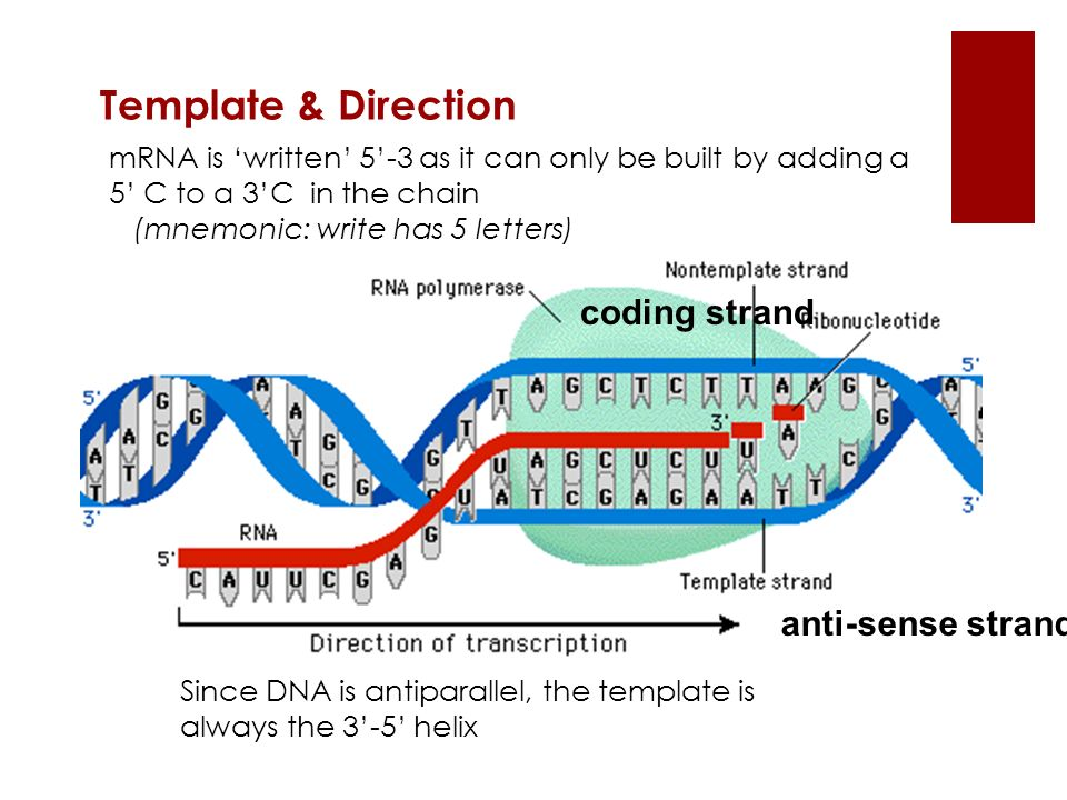 Template & Direction coding strand anti-sense strand