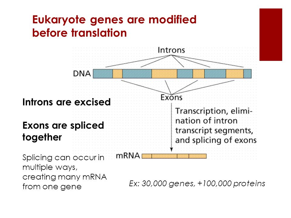Eukaryote genes are modified before translation