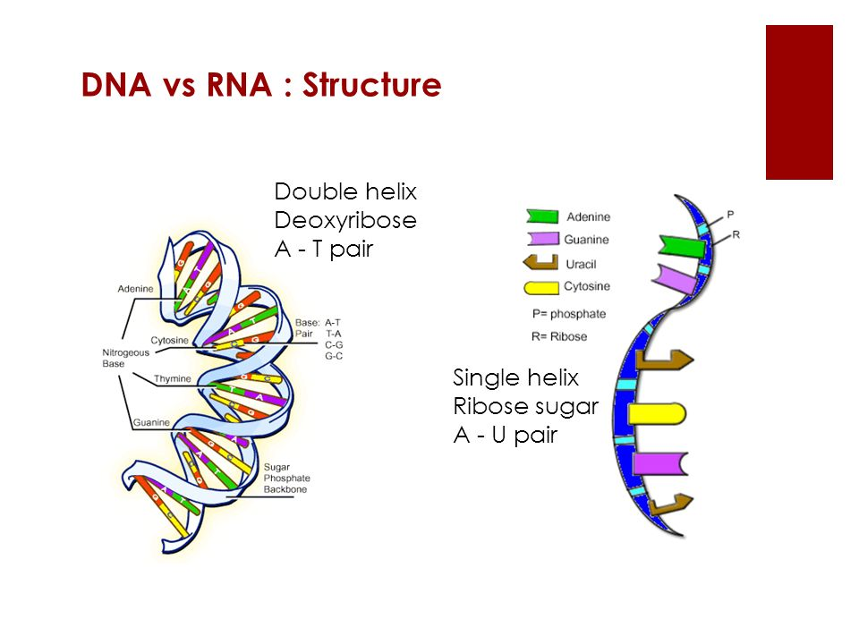 DNA vs RNA : Structure Double helix Deoxyribose A - T pair