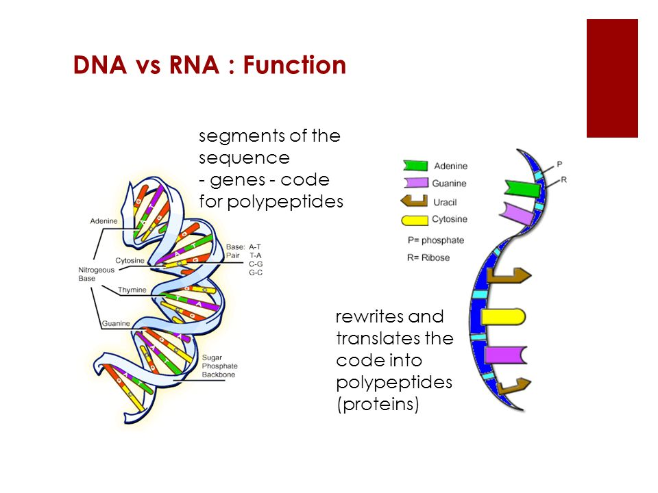 DNA vs RNA : Function segments of the sequence