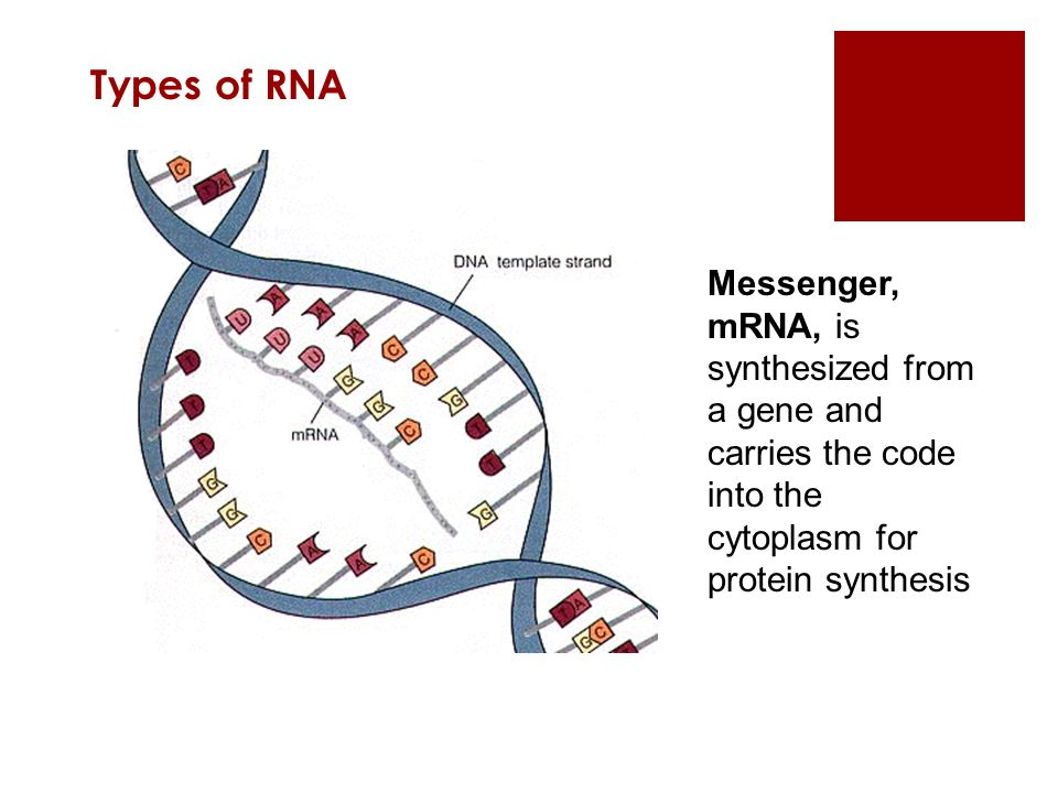 Types of RNA Messenger, mRNA, is synthesized from a gene and carries the code into the cytoplasm for protein synthesis.