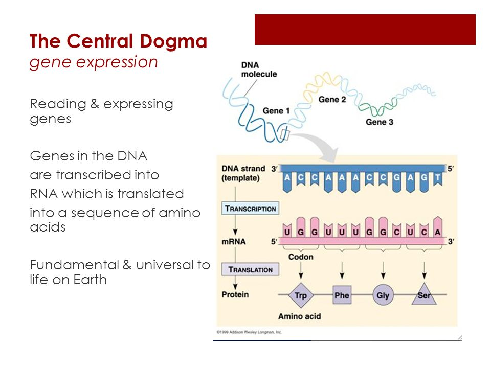 The Central Dogma gene expression