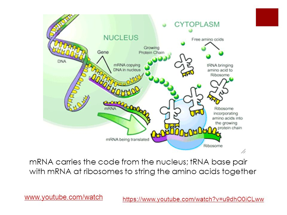 mRNA carries the code from the nucleus; tRNA base pair