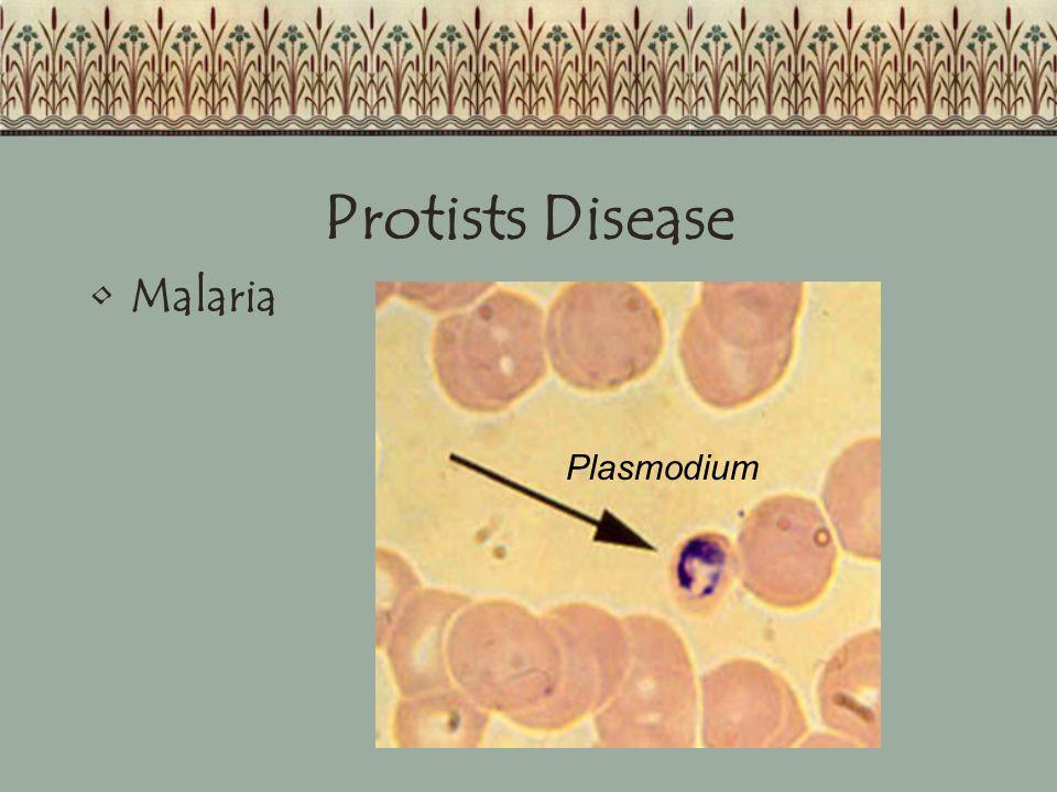 Protists Disease Malaria Plasmodium