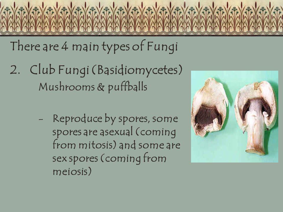 There are 4 main types of Fungi 2. Club Fungi (Basidiomycetes)