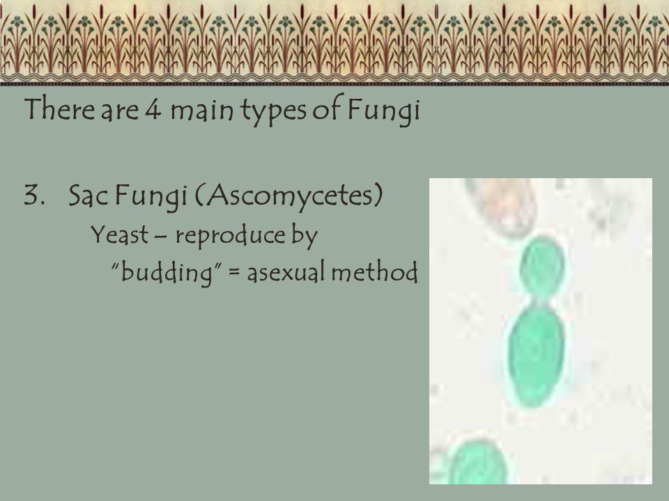 There are 4 main types of Fungi 3. Sac Fungi (Ascomycetes)
