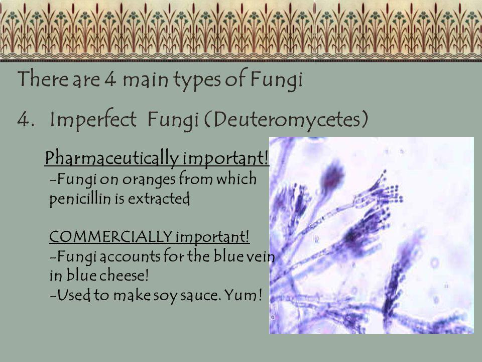 There are 4 main types of Fungi 4. Imperfect Fungi (Deuteromycetes)