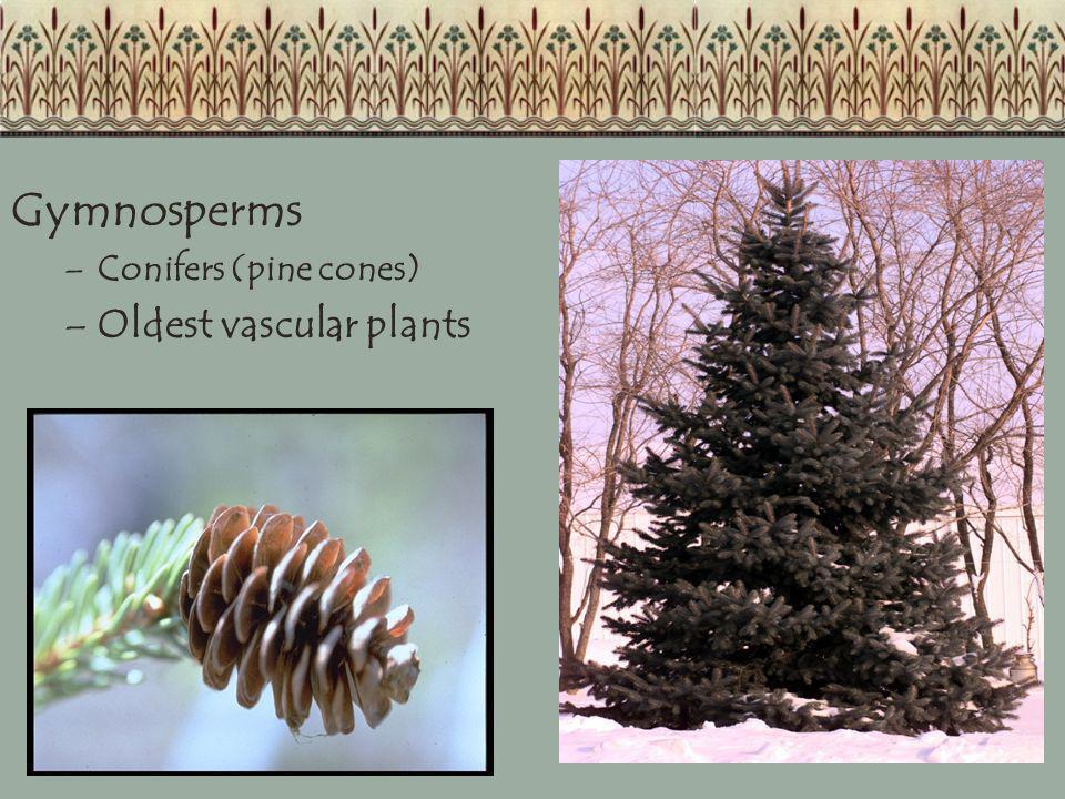 Gymnosperms Conifers (pine cones) Oldest vascular plants