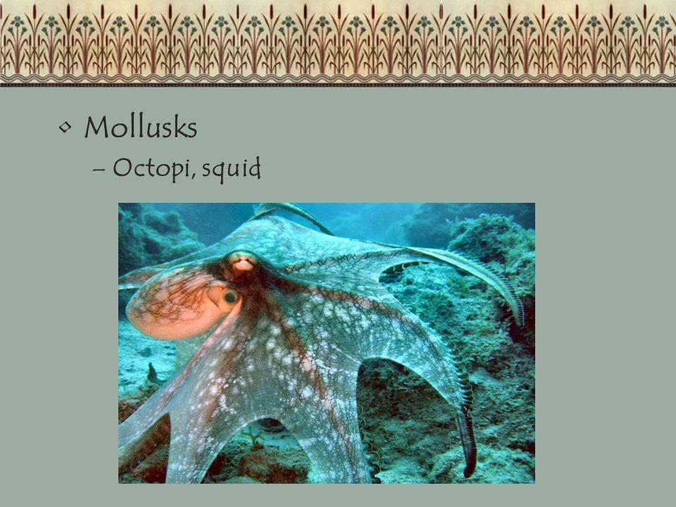 Mollusks Octopi, squid