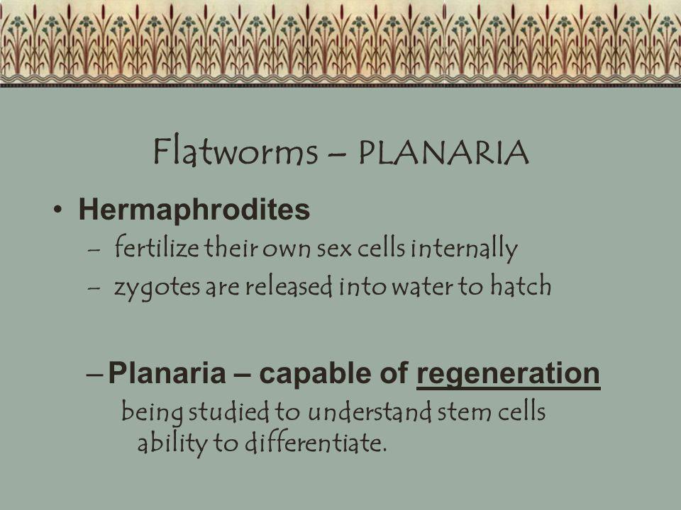 Flatworms – PLANARIA Hermaphrodites Planaria – capable of regeneration
