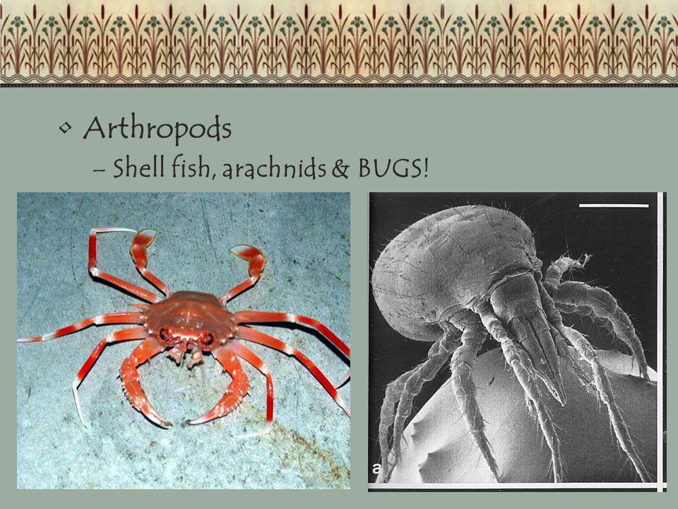 Arthropods Shell fish, arachnids & BUGS!