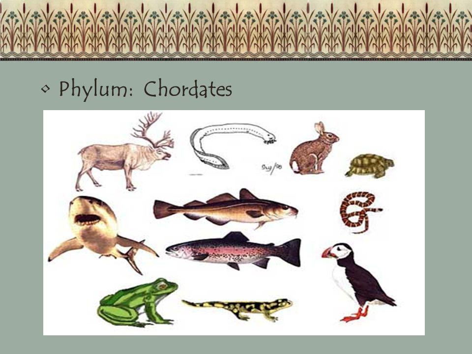 Phylum: Chordates