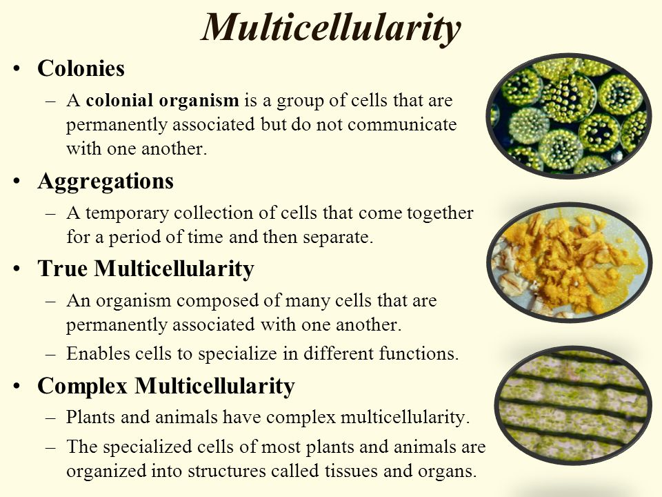 Multicellularity Colonies Aggregations True Multicellularity