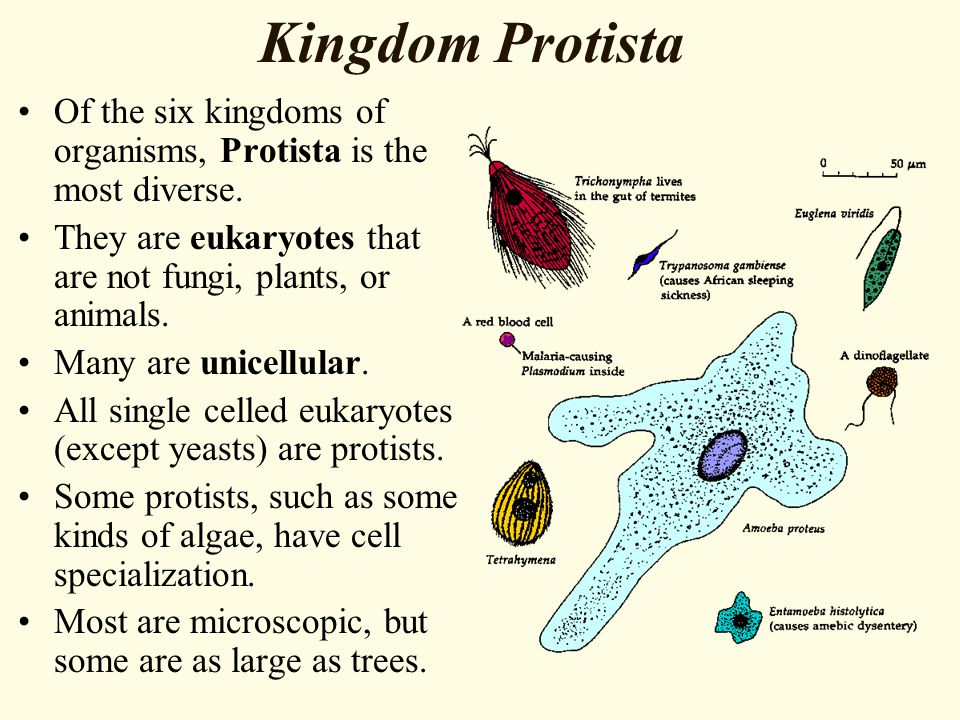 Kingdom Protista Of the six kingdoms of organisms, Protista is the most diverse. They are eukaryotes that are not fungi, plants, or animals.