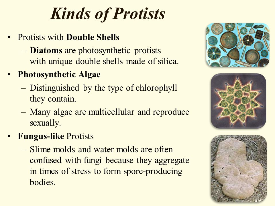 Kinds of Protists Protists with Double Shells