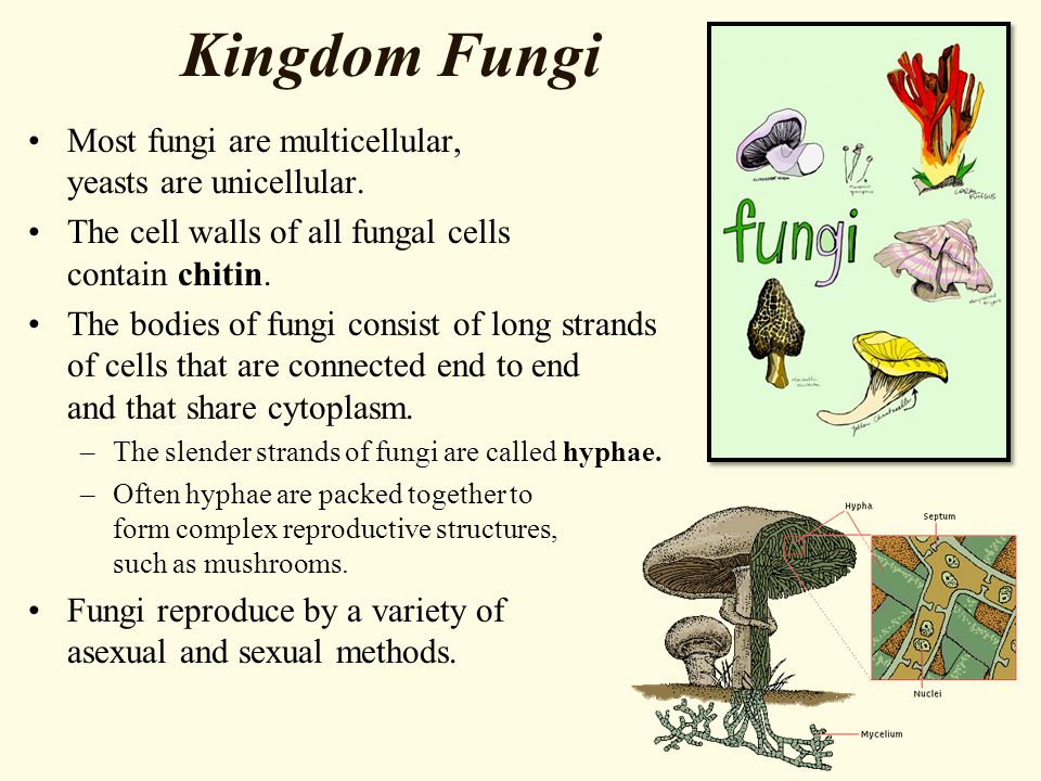 Kingdom Fungi Most fungi are multicellular, yeasts are unicellular.