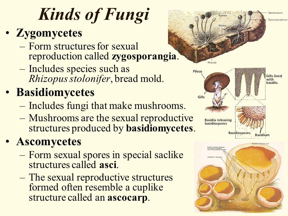 Kinds of Fungi Zygomycetes Basidiomycetes Ascomycetes