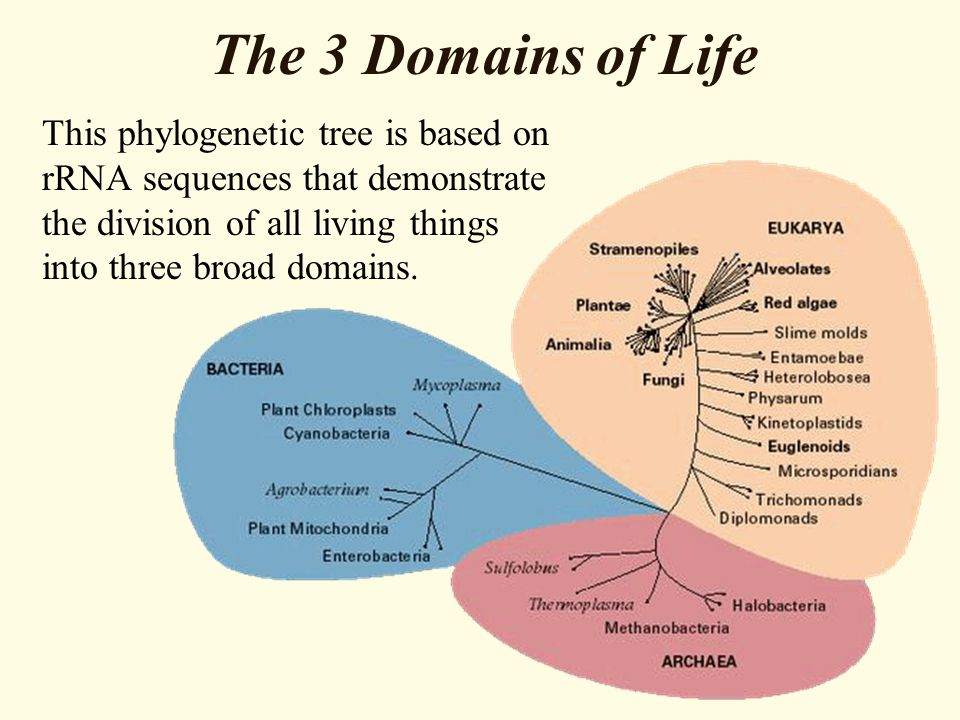 The 3 Domains of Life This phylogenetic tree is based on rRNA sequences that demonstrate the division of all living things into three broad domains.