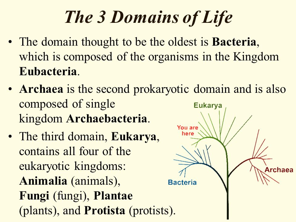 The 3 Domains of Life The domain thought to be the oldest is Bacteria, which is composed of the organisms in the Kingdom Eubacteria.