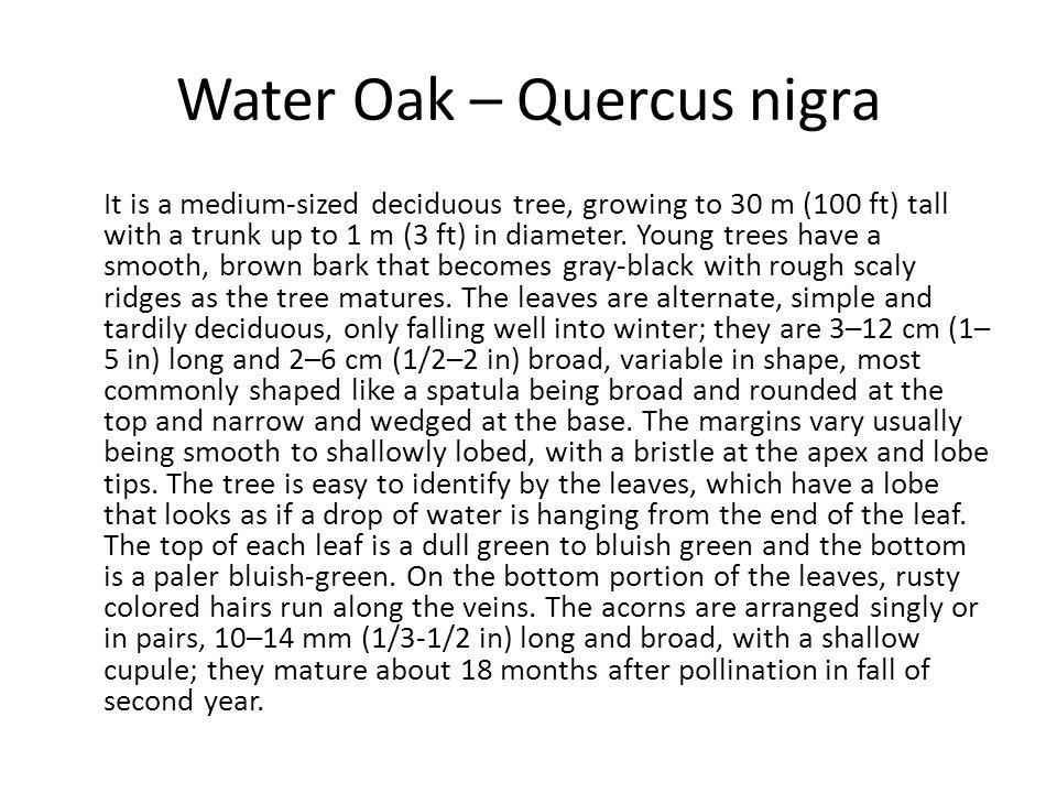 Water Oak – Quercus nigra