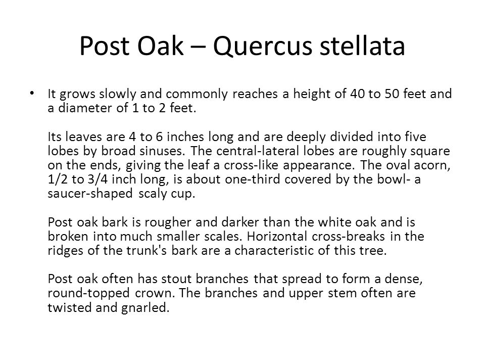 Post Oak – Quercus stellata